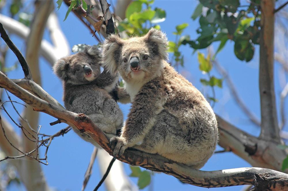 Koala's Great Ocean Road