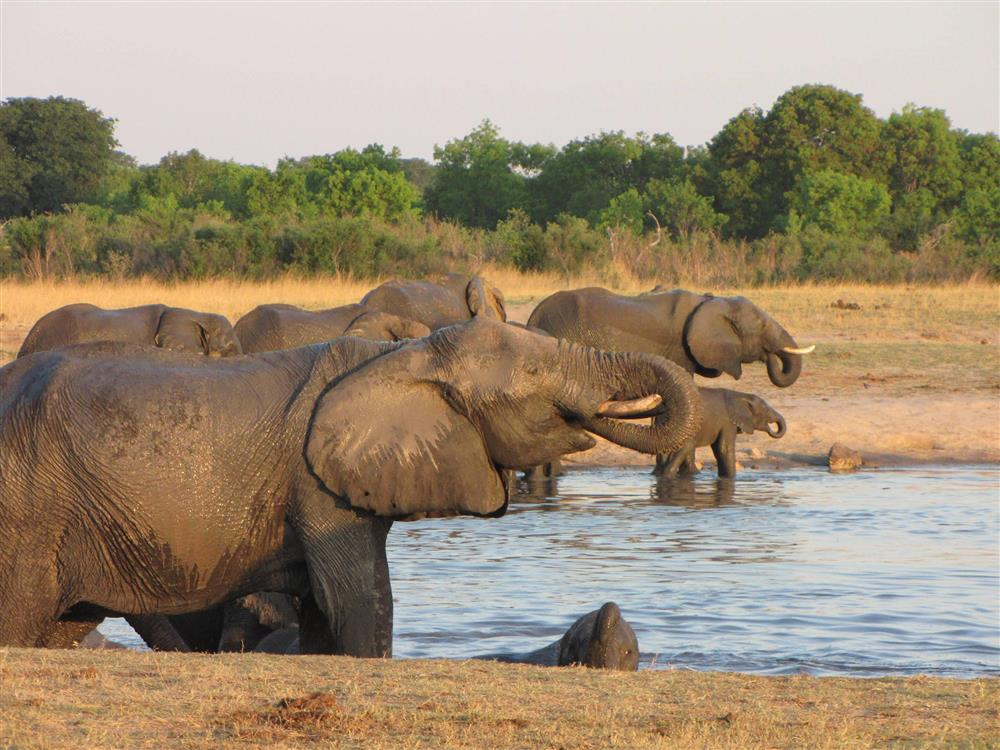 Drinking elephants in Hwange, Zimbabwe